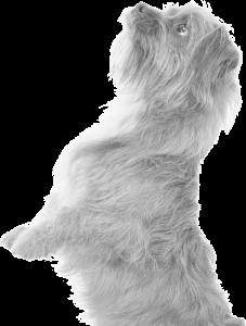 Terrier dog. Vet Nowra